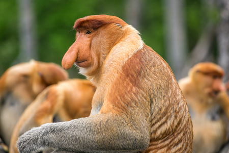 Proboscis Monkey (Nasalis larvatus) endemic  of Borneo.  Male portrait with a huge nose made in Labuk Bay Proboscis Monkey Sanctuary, Sarawak. Stock Photo