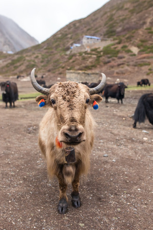 yak: Domestic yak in the village of Nepal Stock Photo