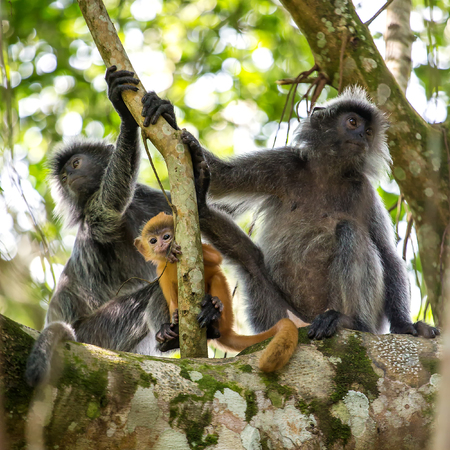 silvered: Mother and baby of silvered leaf langur monkey in Bako National Park, Borneo, Malaysia