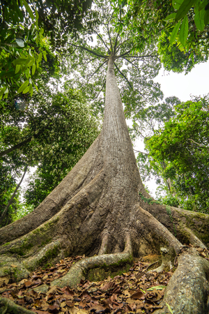 oldest: Sepilok Giant, the Oldest Tree of Sabah in Borneo, Malaysia
