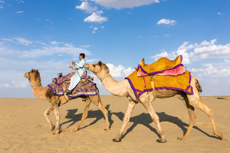 thar: Jaisalmer, India - March 13, 2016: Camels with a rider in Thar desert, Rajasthan, India