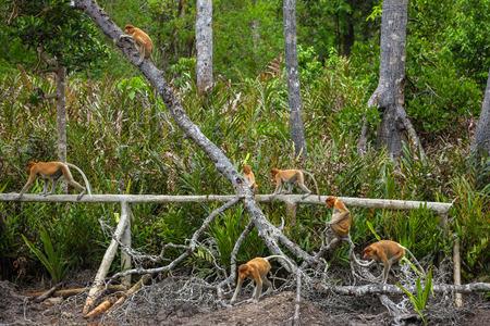 sandakan: Group of Proboscis Monkeys (Nasalis larvatus) endemic of Borneo in the forest Stock Photo