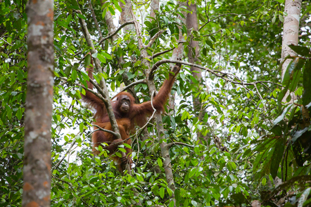 Female orangutan with a baby hanging on a tree in Semenggoh Nature Reserve, Sarawak, Borneo, Malaysia