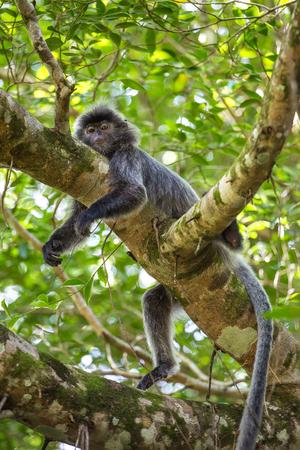 silvered: Silvered leaf langur monkey in Bako National Park, Borneo, Malaysia Stock Photo