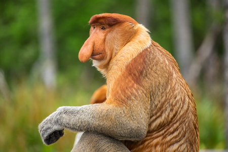 Proboscis Monkey (Nasalis larvatus) endemic of Borneo.  Male portrait with a huge nose. Imagens