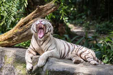 White male tiger yawns in the zoo