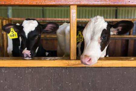 Cute calves in a farm cowshed