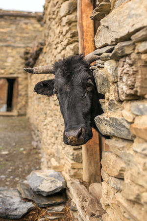Black cow looks out from the old barn in Himalaya village in Nepal Stock Photo