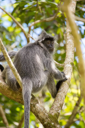 Silvered leaf langur monkey in Bako National Park, Borneo, Malaysia Stock Photo