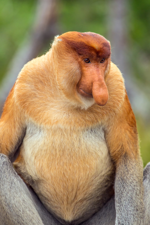 sandakan: Proboscis Monkey (Nasalis larvatus) endemic of Borneo.  Male portrait with a huge nose. Stock Photo