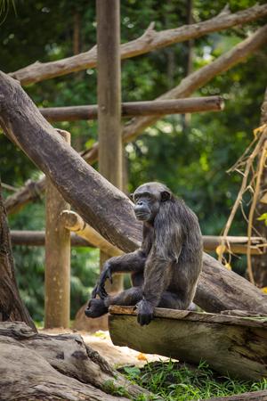 chimpances: Chimpanzee in zoo