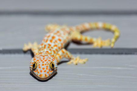 tokay gecko: Tokay Gecko on wooden wall in Thailand Stock Photo