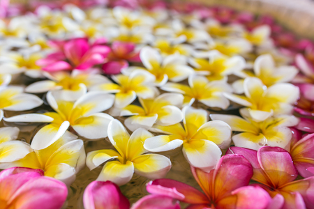 Pink white and yellow plumeria or frangipani flowers floating on water