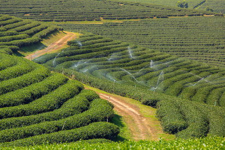 Mae Chan tea plantations in Northern Thailand Stock Photo