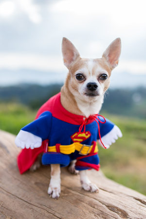 Funny chihuahua dog in Superman costume