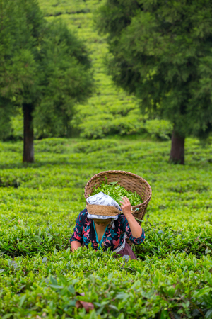 Sikkim, India - April 21, 2017: Indian woman is picking up the fresh tea leaves from tea plantation in Sikkim region, India 에디토리얼