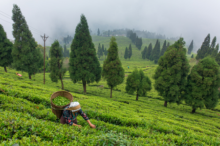 Sikkim, India - April 21, 2017: Indian woman is picking up the fresh tea leaves from tea plantation in Sikkim region, India Editorial
