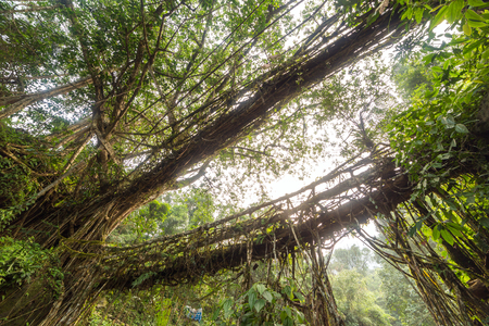 Famous Double Decker living roots bridge near Nongriat village, Cherrapunjee, Meghalaya, India. This bridge is formed by training tree roots over years to knit together. Banco de Imagens