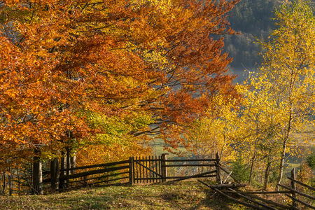 Beautiful colorful morning scene with autumn trees in Carpathian mountains, Ukraine. Orange and yellow leaves close up view at sunrise