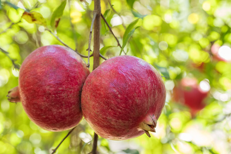 Ripe pomegranate fruits on a tree branch close-up Imagens - 115677480
