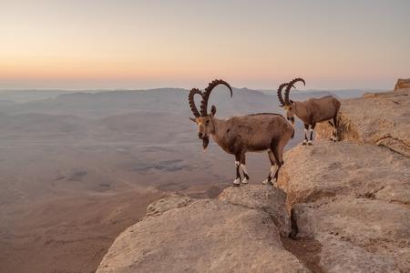 Dos cabras montesas en el acantilado en el cráter Ramon en el desierto de Negev en Mitzpe Ramon, Israel