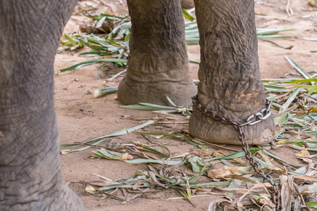 Close-up of an elephant leg in chains in elephant camp.