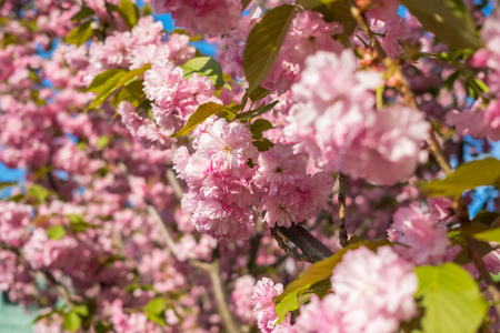 Bright pink cherry blossom flowers.
