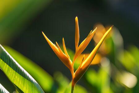 Strelitzia Reginae or bird of paradise yellow flower