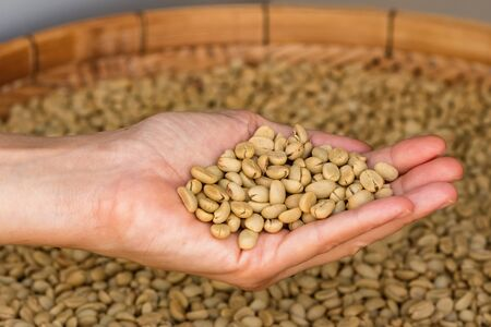 Green unroasted coffee beans on hand