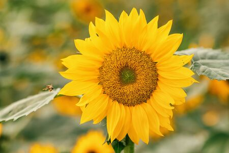 Sunflower blooming natural background.