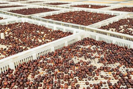 Coffee beans drying at sun
