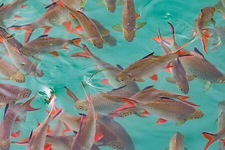 Big group of Red tail carp at Khao Sok National Park Фото со стока