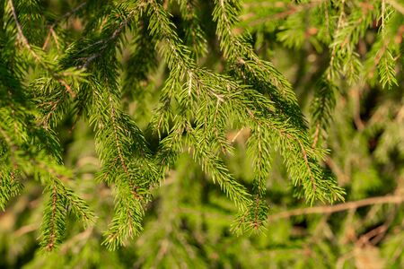 Young fir tree branches closeup