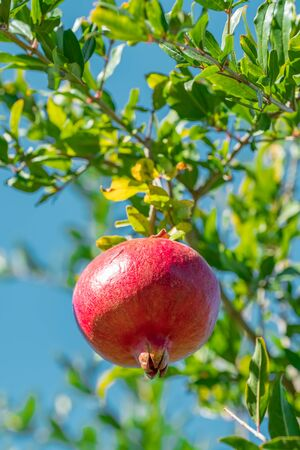 Ripe pomegranate fruit on a tree branch close-up