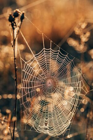 Spider web on a dry grass in the autumn field at sunset close-up