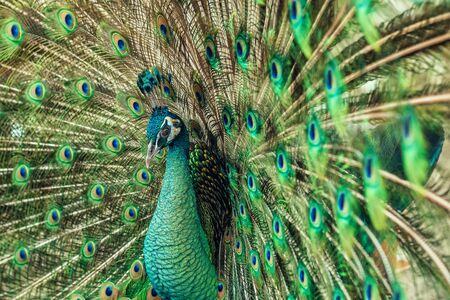 Close up male peacock with fully unfolded feathers of his tail. Male Peacock rattles his plumage during courtship Фото со стока