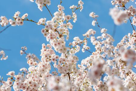 Branch of the Blooming white sakura cherry blossom flowers close-up