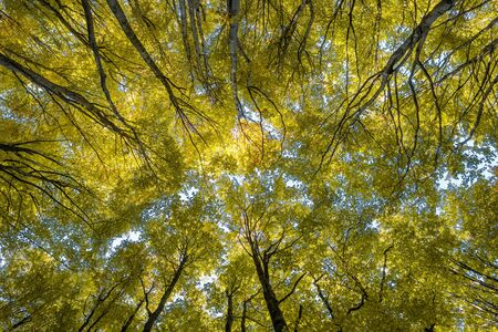 Looking up the trees in autumn forest. Nature fall background