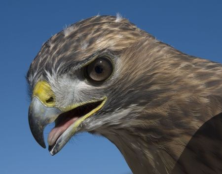 red tailed hawk: Red Tailed hawk, outdoors, staring intently, blue sky background