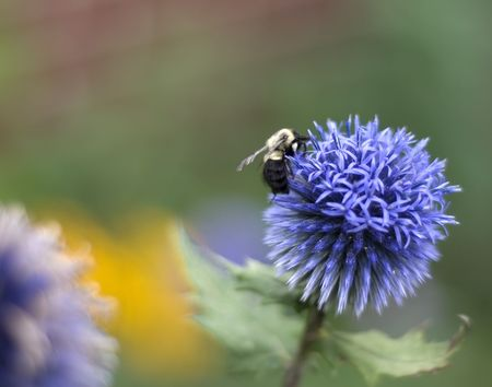 Yellow and black bumble bee on blue globe thistle Фото со стока - 3439323