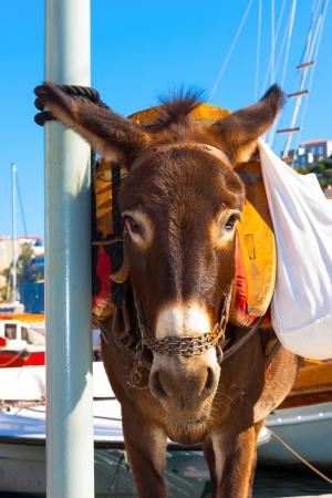 Donkey close up in Santorini Island in Greece photo