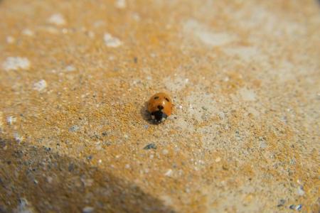 coccinella: Ladybug coccinella walking on ground, macro photo Stock Photo