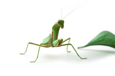 Mantis looking us with one eye photo