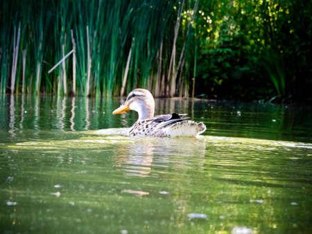 Female mallard duck swimming in pond Stock Photo - 10009977