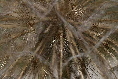 seed bed: dandelion