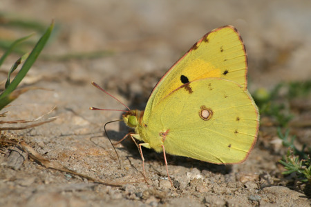 animal vein: Colias butterfly