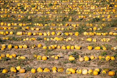 melon field: melon field