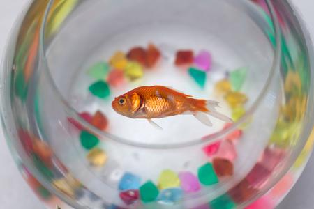 Dead Goldfish in aquarium