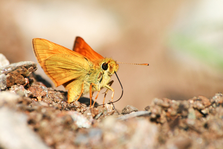 small brown butterfly