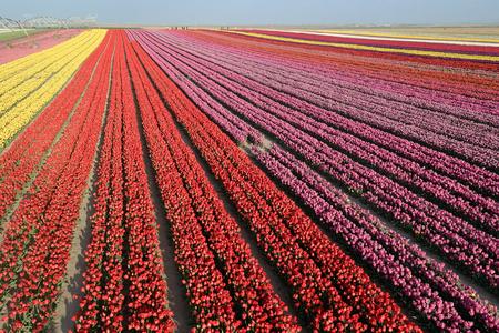 bulb fields: Tulip. Beautiful bouquet of tulips. colorful tulips. tulips in spring,colourful tulip